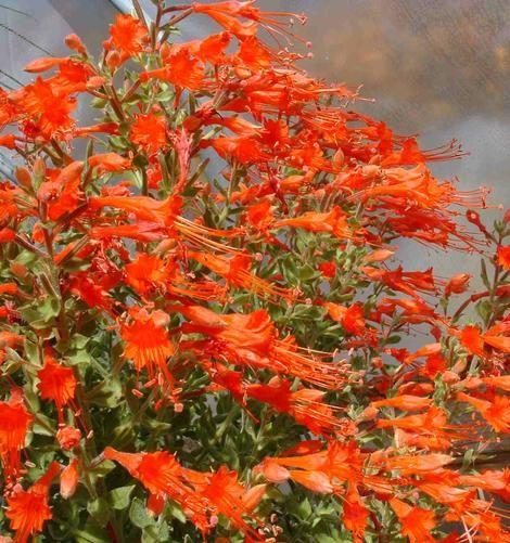 California Fuchsias (Zauschneria or Epilobium canum)