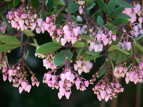 Manzanita (Arctostaphylos species)