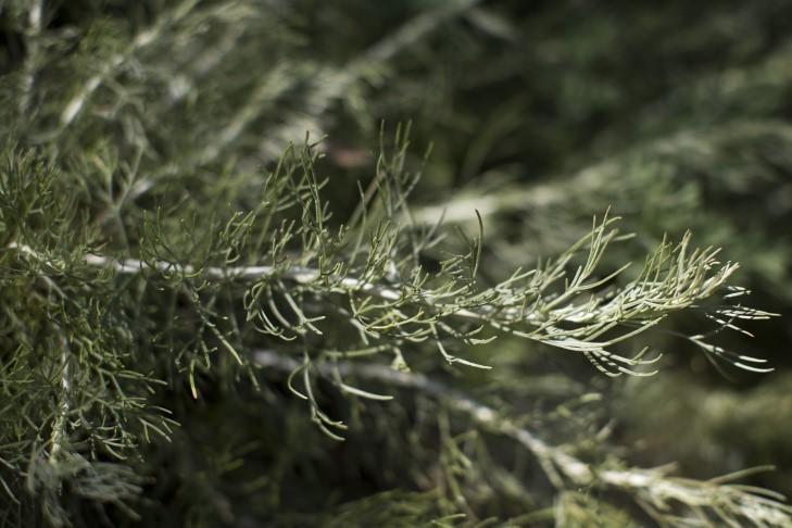 Canyon Grey California Sagebrush (Artemisia californica)